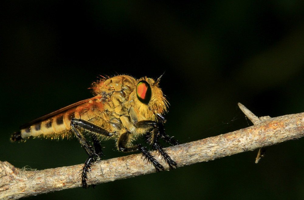 robber-fly-rohit-pansare