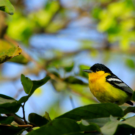 Project 365: Day 119, Common Iora