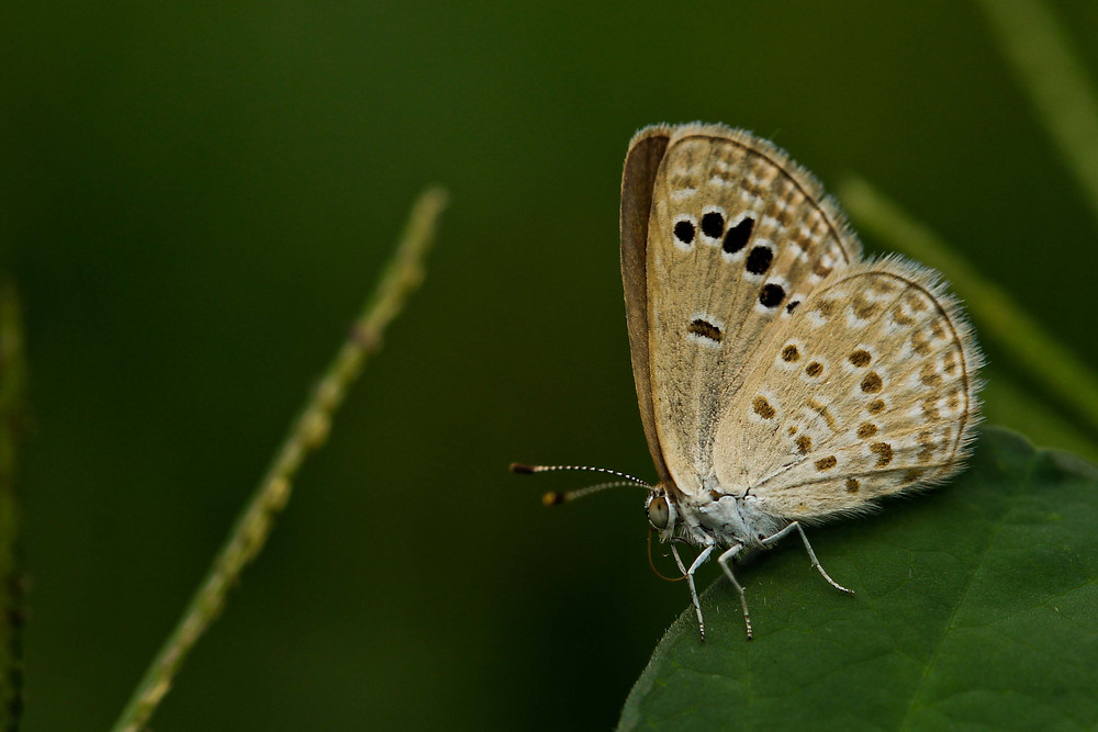 A Lime blue Butterfly