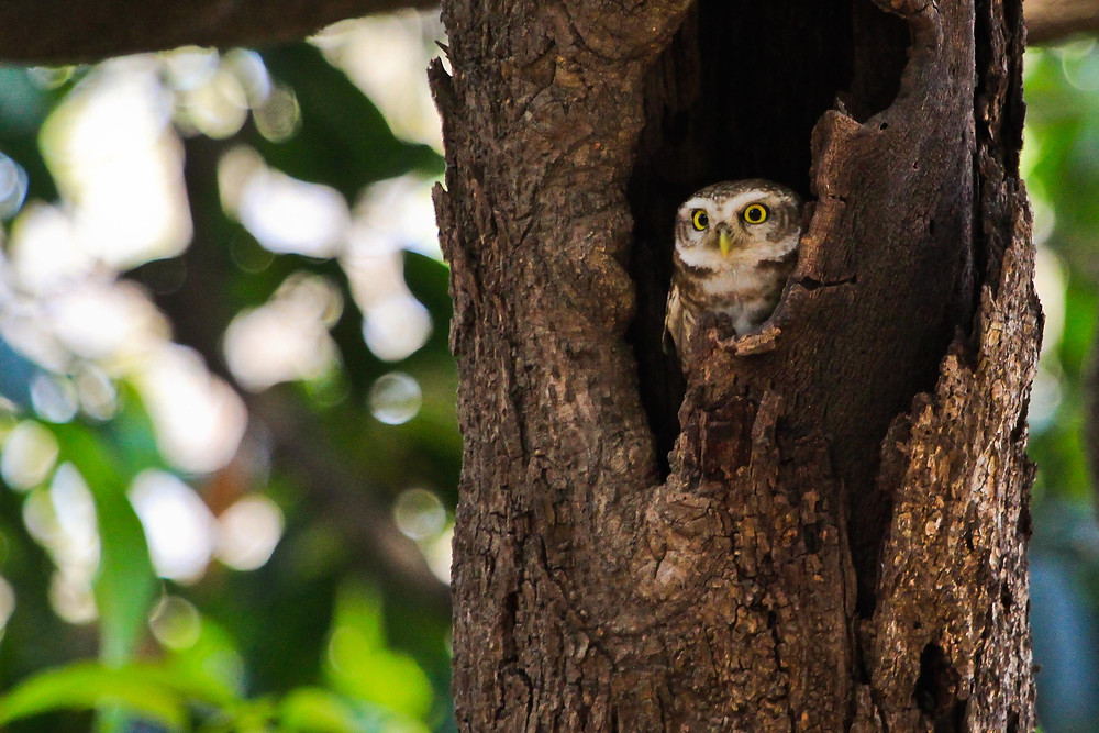 Project 365: Day 130, Spotted Owlet