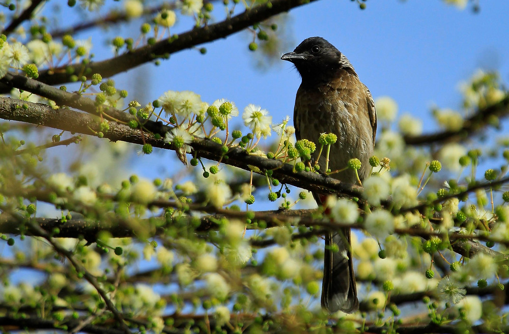 Project 365: Day 121, Red-vented Bulbul
