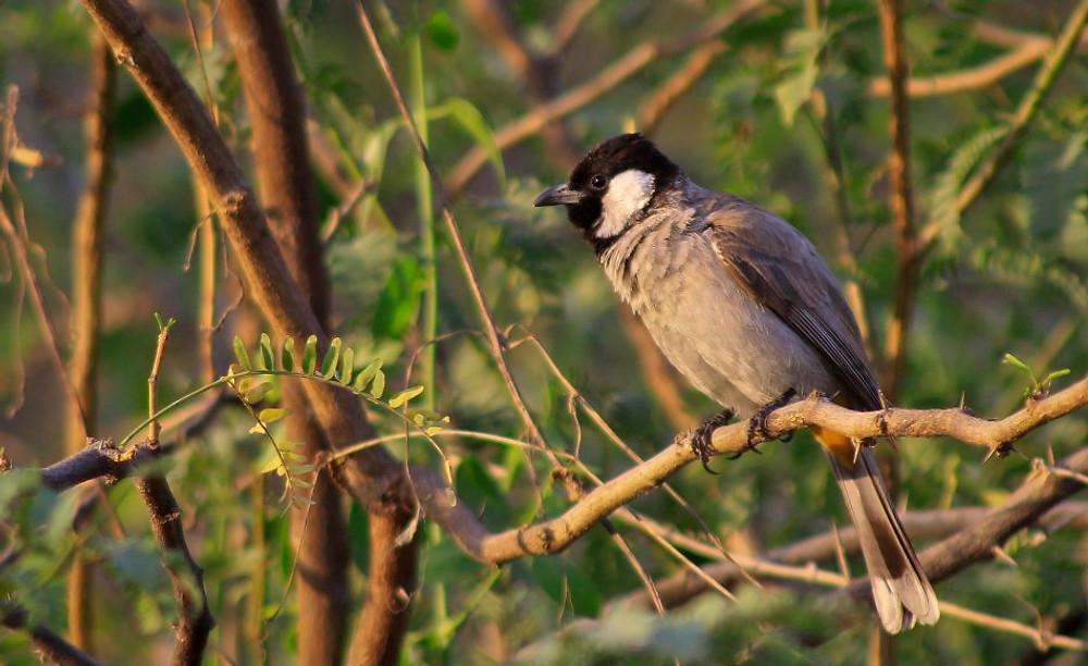Bulbul-bird-rohit-pansare-photography