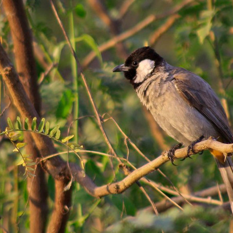 Project 365: Day 102, White-cheeked Bulbul