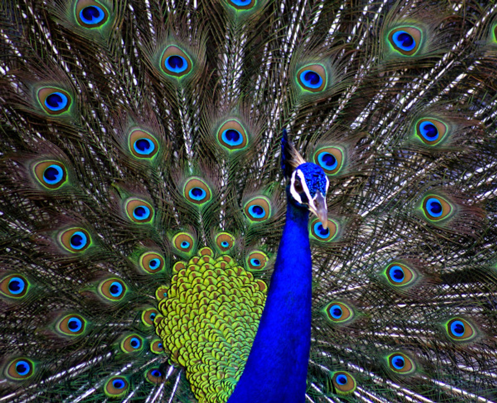 Peacock-day1-rohit-pansare