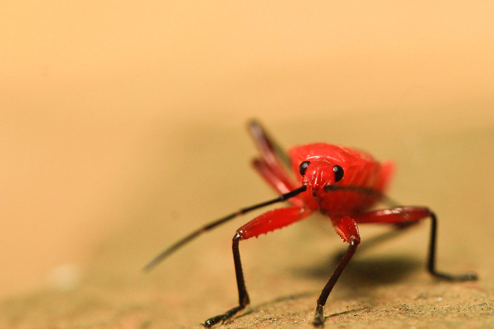 A Curious Cotton bug