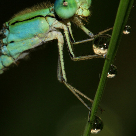Project 365: Day 25, Damsels and dew!