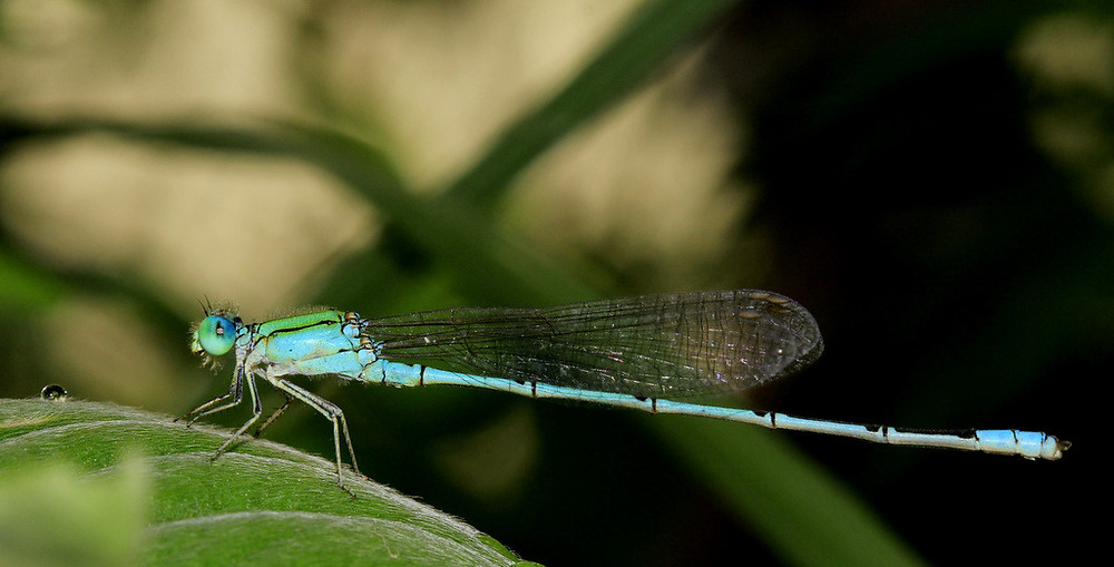 Project 365-Dew-Damselfly-rohit-pansare