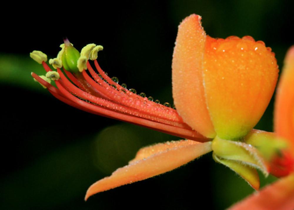 Bare-Caper-flower-rohit-pansare