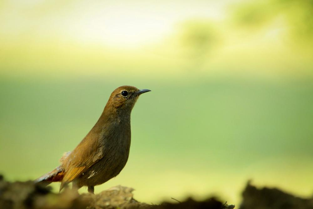 indian-robin-rohit-pansare-photography