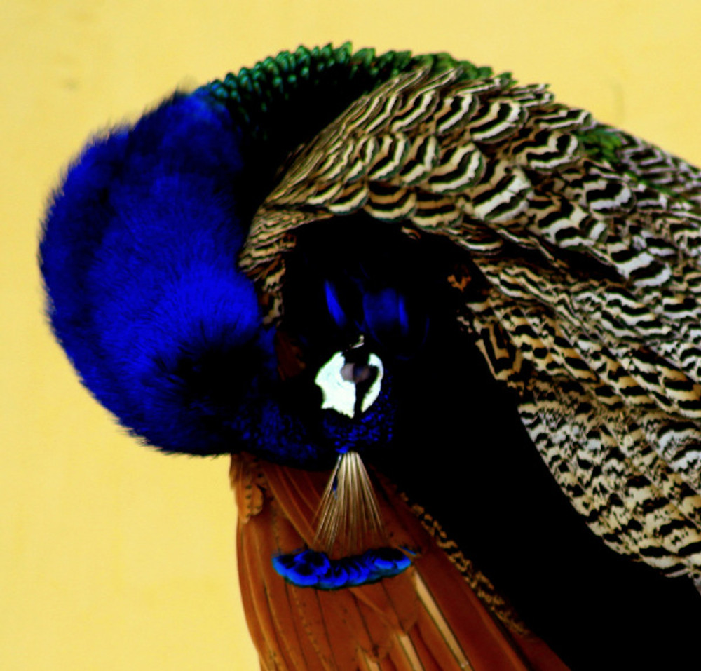 peacock-preening-rohit-pansare