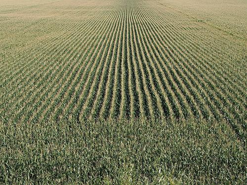 cornfield-2575466_1920.jpg