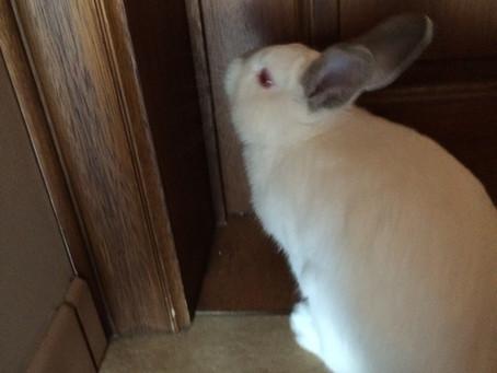 Curious Rabbit/ Lapin Curieux