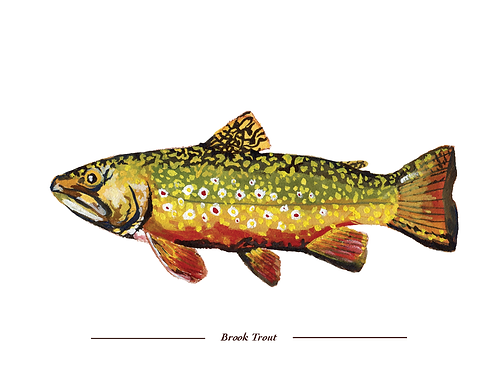 Brook Trout 8x10 print