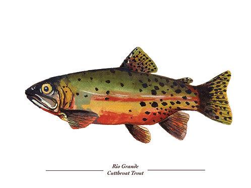 Rio Grande Cutthroat Trout 8x10 Print