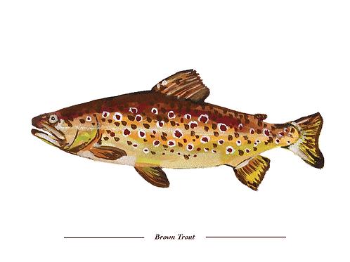 Brown Trout 8x10 Print