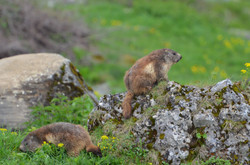 Marmottes sur les hauteurs de Granier