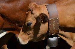 Nos vaches du beaufortin