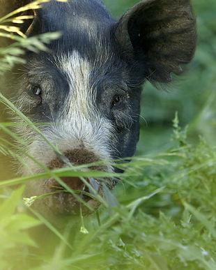 Pig in grass 300dpi.jpg