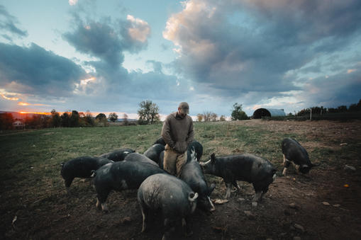 Bob with pigs at sunset