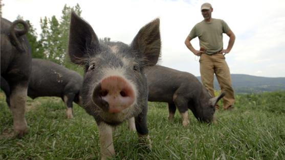 Bob watches piglets