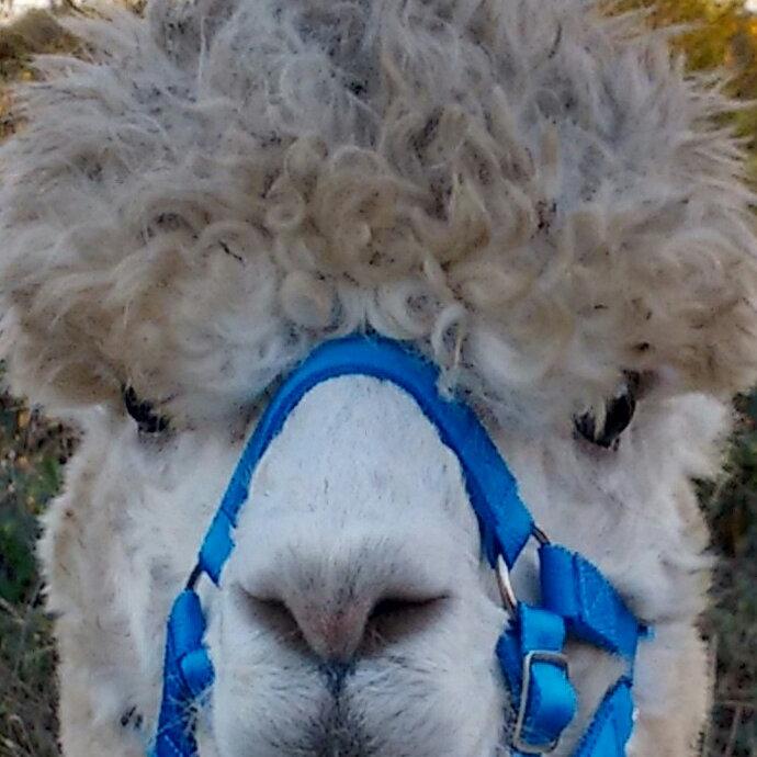 Alpaca Trek - Boycott