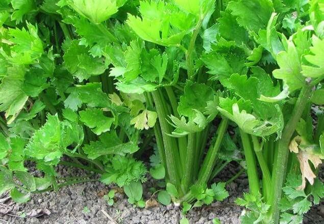 Celery Enzymes