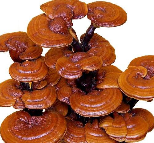 Ganoderma Extracts