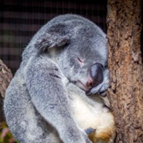 Friday-off_Koala_w.png