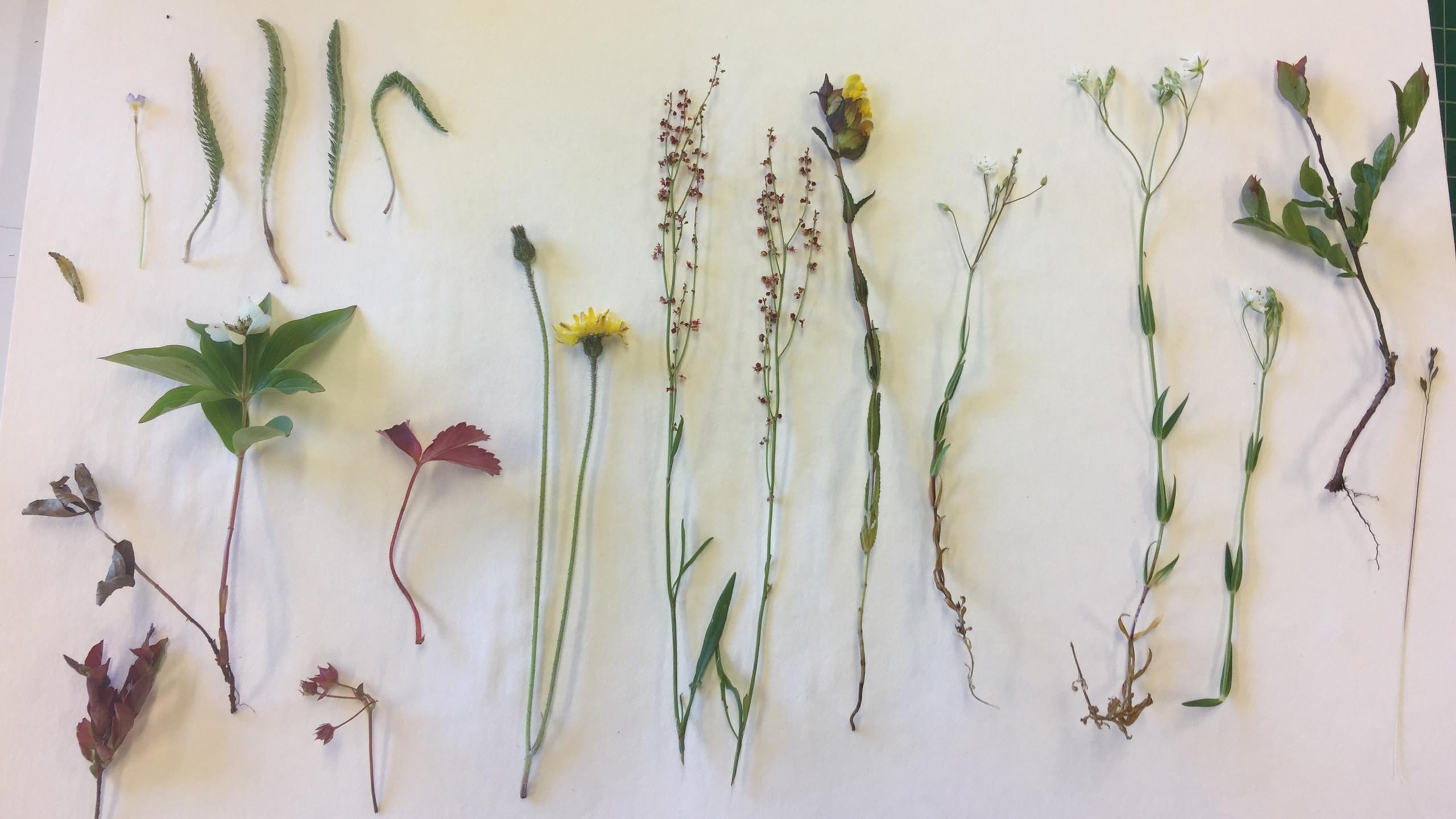 wild flower for press