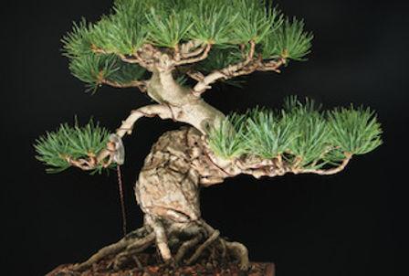 Miyajima Pine.jpg