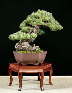 Pine KIMBALL