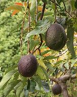 Avocado Baum