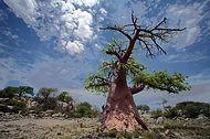 Baobab Baum