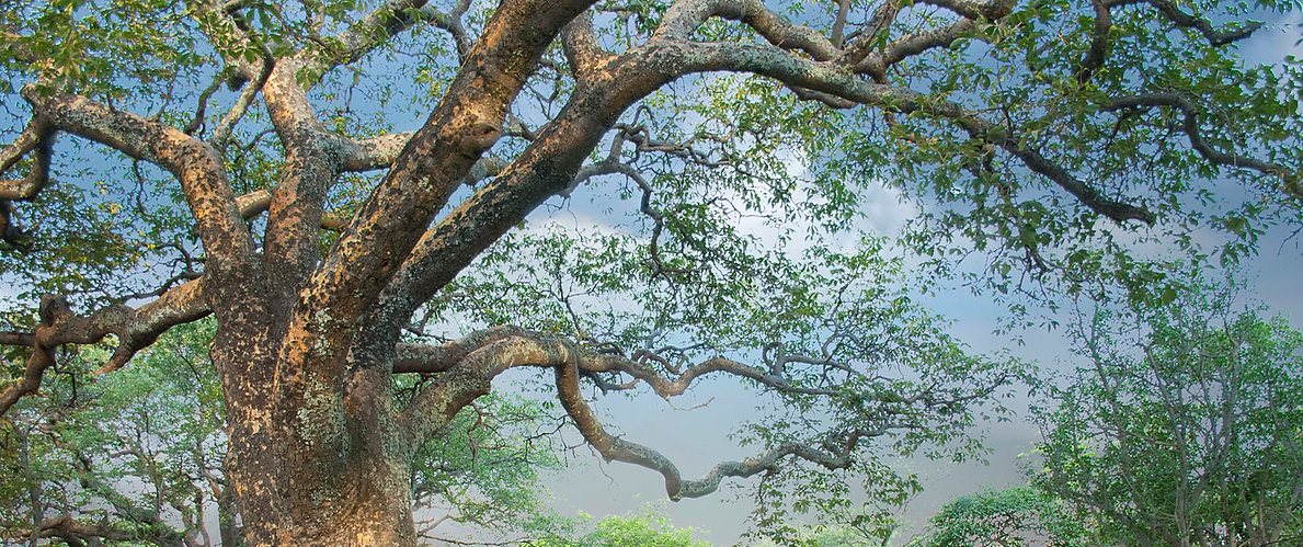 a-Mongongo-tree©Willem-Frost-3859-HD-147