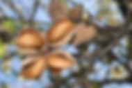 Mandel Baum