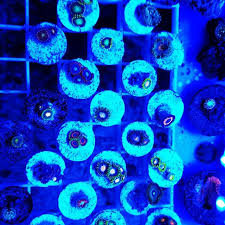 10 PACK OF LARGE ASSORTED ZOA/BUTTON FRAGS