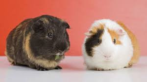 Cavia Porcellus Standard(COLLECTION ONLY)