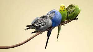 Melopsittacus undulatus - Budgerigars all Colours (COLLECTION ONLY)
