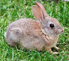 Oryctolagus cuniculus (NI & IRELAND ONLY)