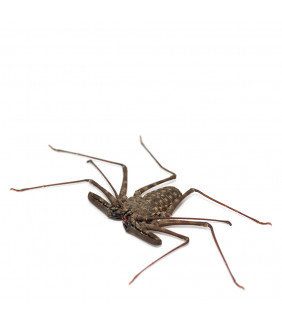 Tanzanian Giant Tail-less Whip Scorpion, B-Grade