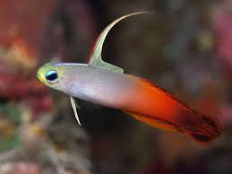 FIRE FISH GOBY M