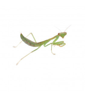 Gaint Asian Green Mantis