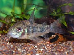 PEPPERED CORY SMALL