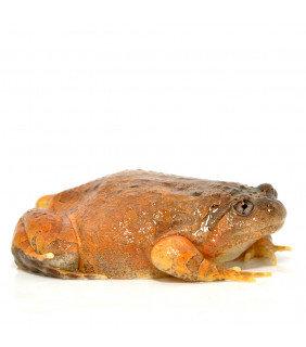 Brumese Chubby Frog
