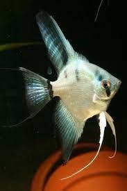 ghost angelfish 2.5-3.5cm