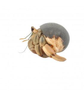 Caribbean Land Hermit Crab
