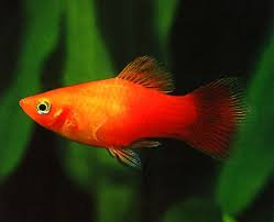 PLATY ASSORTED SMALL
