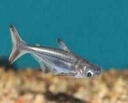Silver Catfish (Pangasuis)