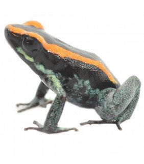 Golfodulcean Dart Frog
