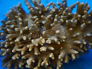 Sinularia brassica s/m